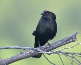 Bronzed Cowbird, Male