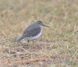 Spotted Sandpiper, Basic Plumage