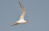 Royal Tern, Alternate Plumage