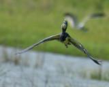 Tricolored Heron, Basic Plumage