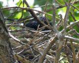 Common Black-Hawk in Nest