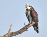 Hawks, Kites, & Eagles