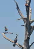 Anhinga and Black-bellied Whistling Ducks