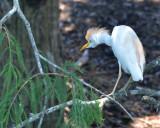 Cattle Egret, Alternate Plumage