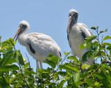 Wood Stork, Babies