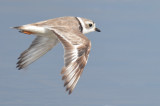 Piping Plover, Alternate Plumage