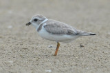 Piping Plover, Basic Plumage