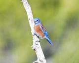 Western Bluebird, Male