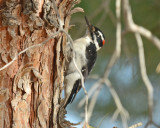 Interior West Hairy Woodpecker, Male