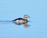 Long-tailed Duck, Hen