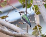Anna's Hummingbird, Immature Male