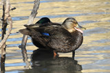 American Black Duck, Hen