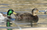 Mallard, Drake and American Black Duck, Hen