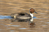 Northern Pintail, Hen