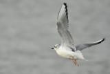 Bonaparte's Gull, Basic Plumage