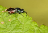 Ruby-tailed Wasp_New Cossy_27-07-16_LOW3716 copy.JPG