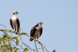 Meadowbrook Osprey