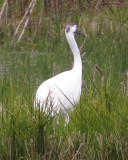 Whooping Crane  11-8-18