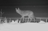 A Coyote walking on our ice covered pond