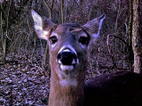 Curious Deer Checking out the Trail Camera