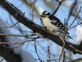 Downy Woodpecker and the Aprils Fools Day Snow
