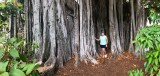 Huge Banyon tree in Fort Myers