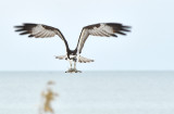 Osprey picking up a stick on the beach for it's nest