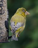 Greenfinch IMG_0657.jpg