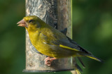 Greenfinch IMG_0205.jpg