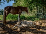 Napping foal IMG_2664.jpg