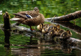 Ducks, Dene Wood, Cottingham IMG_3201.jpg