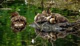 Ducks, Dene Wood, Cottingham IMG_3213.jpg
