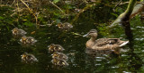 Ducks, Dene Wood, Cottingham IMG_3312.jpg