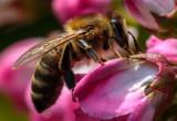 Honey_Bee_IMG_3867.jpg