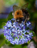 Bee_on_Ceanothus_IMG_5917.jpg