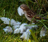 Collecting Pigeon feathers for nesting.