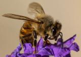 Honeybee_IMG_7416.jpg