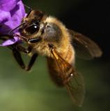 Honeybee_IMG_7427.jpg