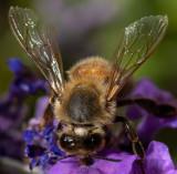 Honeybee_IMG_7437.jpg