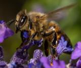 Honeybee_IMG_7439.jpg