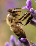 Honeybee_IMG_7466.jpg