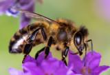 Honeybee_IMG_7775.jpg