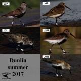 Dunlin - banded - summer 2017