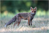 Renard - Fox 7546