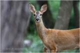 Chevreuil - Roe deer 4767.JPG