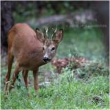Chevreuil - Roe deer 4809.JPG