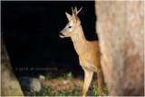 Chevreuil - Roe deer 4734.JPG