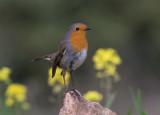 Robin (european) אדום חזה