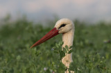 White Storks 4/2017             חסידות לבנות
