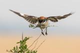 Woodchat Shrike   חנקן אדום ראש